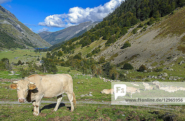 France  Pyrenees National Park  Val d'Azun  cows in the vallee d'Estaing