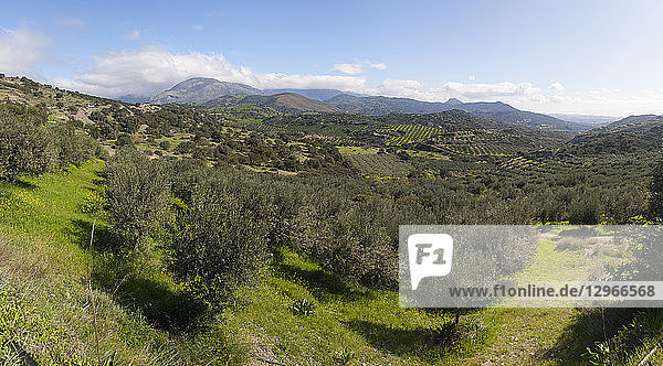 Olive growing for olive oil  Crete  Greece
