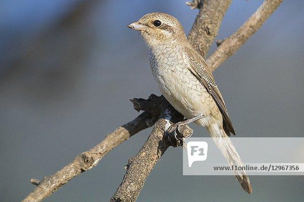 Isabelline Shrike (Lanius isabellinus)  juvenile perched on a branch.