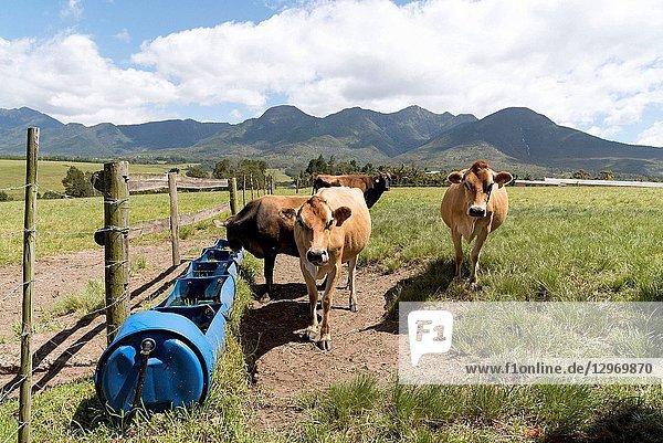 Blanco near George Western Cape South Africa  Dairy cows feeding and drinking on a farm at Blanco.