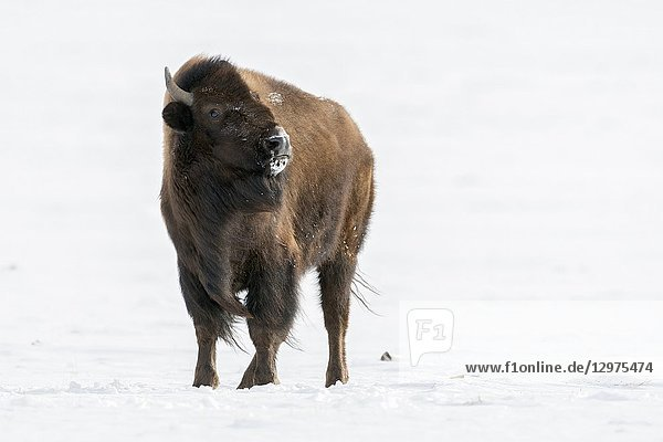 American bison ( Bison bison ) in snow  watching dangerous  threatening to the photographer  Montana  USA..