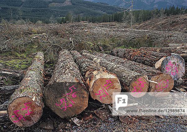 Baumstämme  abgeholzter Wald bei Bilbao  Spanien