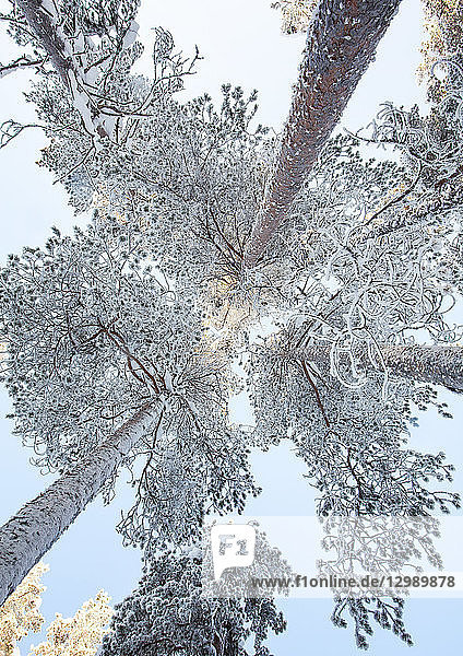 Nadelbäume mit Raureif  Finnland
