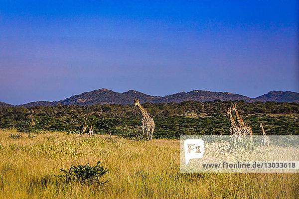 Giraffe (Giraffa camelopardalis)  Zululand  South Africa