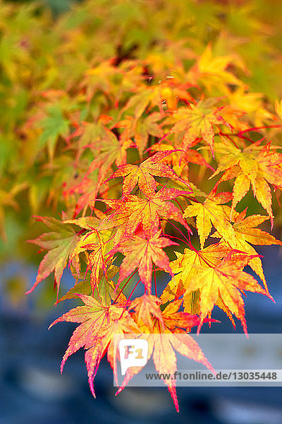 Japanese maple tree changing colour in autumn at Eikando temple in Kyoto  Japan