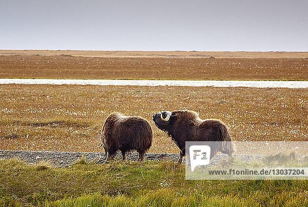 Nature photograph of two musk oxen†(Ovibos moschatus),  Alaska,  USA
