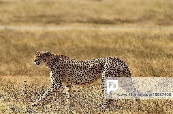 Nature photograph with side view shot of a single cheetah†(Acinonyx†jubatus)†in†savannah
