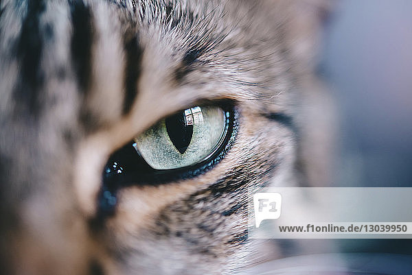 Extreme close-up portrait of tabby cat