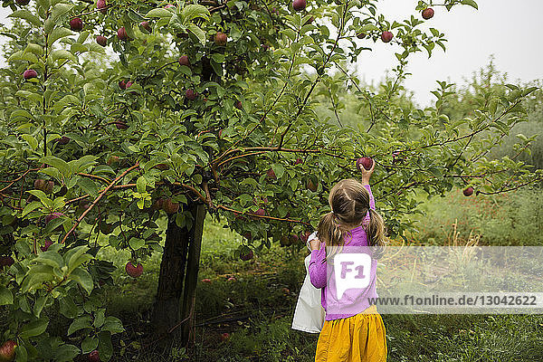 Rear view of girl picking apples in orchard