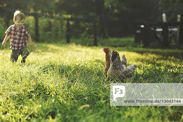 Boy on field with hens in foreground
