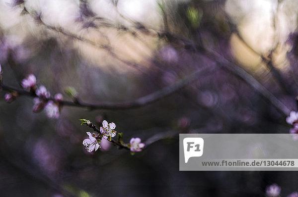 Nahaufnahme der an Zweigen blühenden Blüten