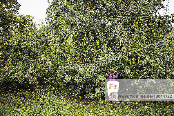 Girl picking pears form tree in farm