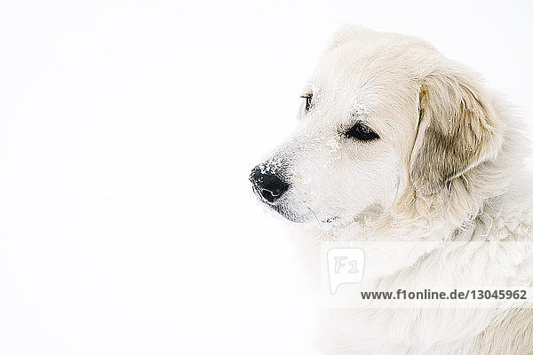 High angle view of golden retriever standing on snow covered field