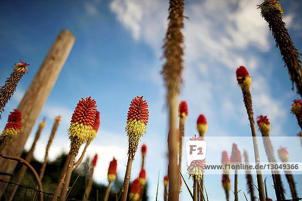 Low angle view of Aloe vera flowers growing in farm against sky