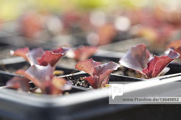 Nahaufnahme von Rotsalat-Setzlingen im Setzlingskasten