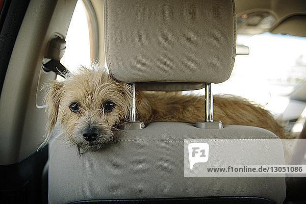 Porträt eines Hundes im Auto Porträt eines Hundes im Auto