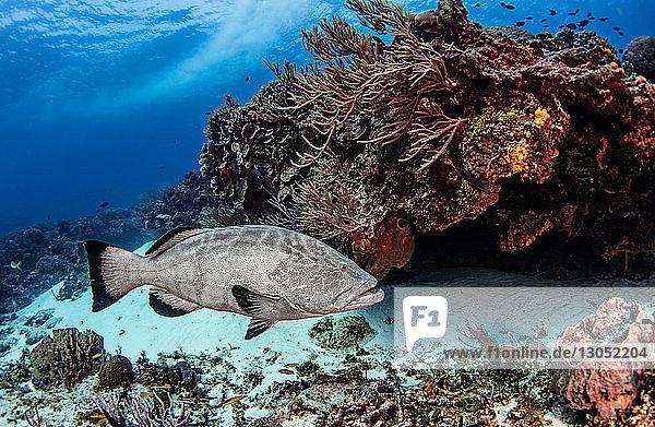 Black grouper  Cozumel  Quintana Roo  Mexico