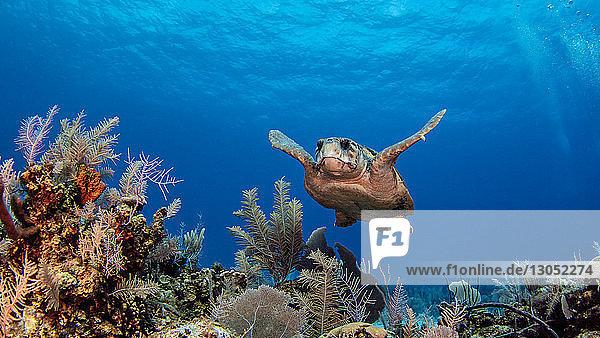 Loggerhead turtles  Cayman Palms  Cayman Islands