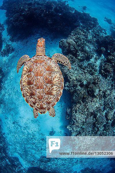 Green sea turtle  Cozumel  Quintana Roo  Mexico