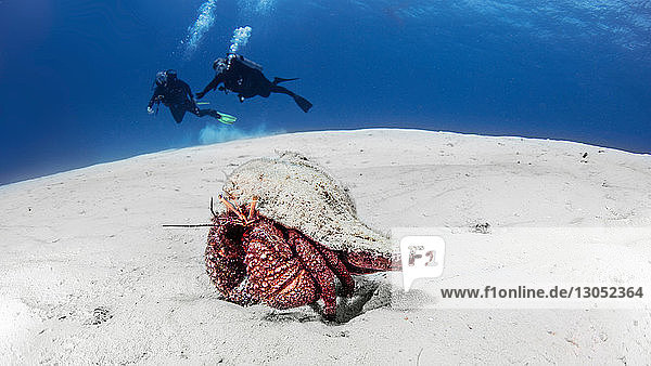 Giant Hermit crab  Cozumel  Quintana Roo  Mexico