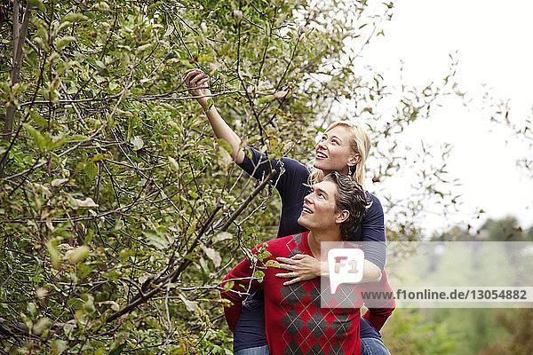 Frau pflückt Früchte vom Baum  während Mann Huckepack gibt