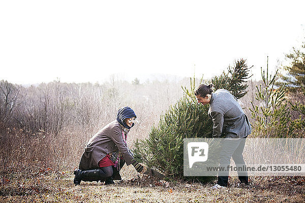 Woman cutting pine tree while man holding against clear sky