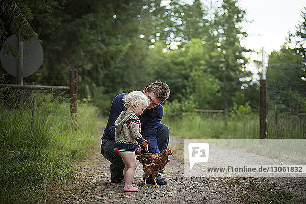 Father and son playing with chicken on field