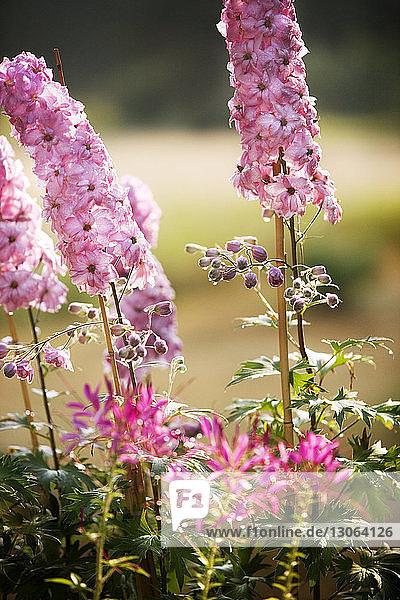 Nahaufnahme der auf dem Feld blühenden rosa Blumen