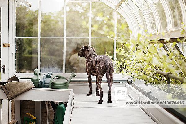 Rückansicht eines Hundes  der auf einem Tisch im Gewächshaus steht Rückansicht eines Hundes, der auf einem Tisch im Gewächshaus steht