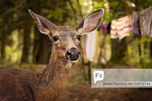 Nahaufnahme eines im Wald stehenden Hirsches