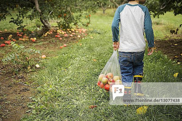 Unterer Teil eines Jungen  der im Obstgarten Äpfel in einer Plastiktüte trägt