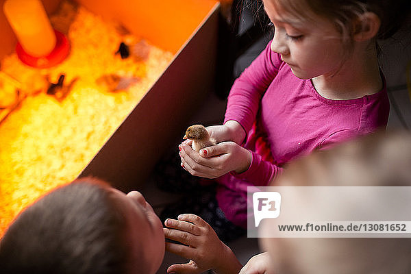 High angle view of girl holding baby chicken while standing with siblings at home
