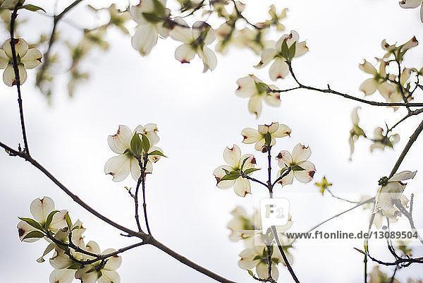 Niedrigwinkel-Ansicht von Hartriegel-Blüten  die auf Ästen vor klarem Himmel wachsen