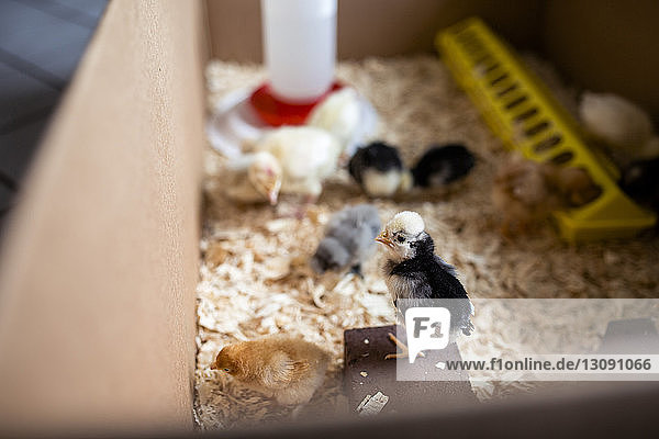 High angle view of baby chickens in cardboard box