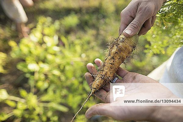 Abgetrennte Hände eines Mannes mit einer Karotte im Gemeinschaftsgarten Abgetrennte Hände eines Mannes mit einer Karotte im Gemeinschaftsgarten