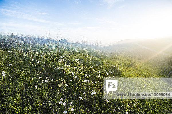 Szenische Ansicht von Blumen  die auf dem Feld gegen den Himmel wachsen