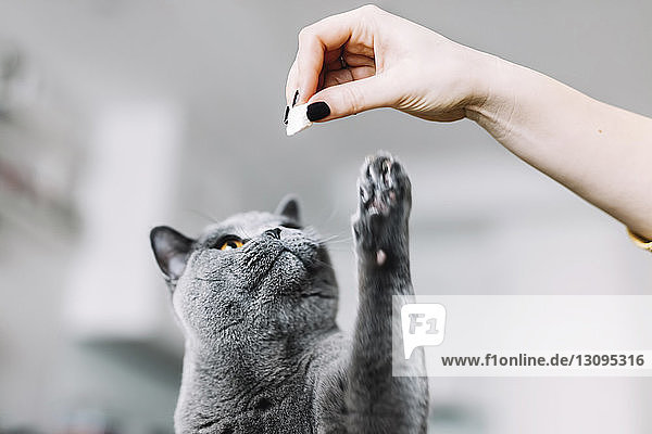 Cropped hand of woman playing with Chartreux cat at home