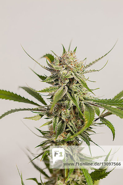 Close-up of fresh cannabis plant against wall