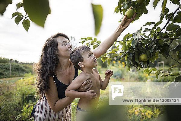 Mutter mit hemdlosem Sohn beim Obstpflücken von Zweigen im Gemeinschaftsgarten Mutter mit hemdlosem Sohn beim Obstpflücken von Zweigen im Gemeinschaftsgarten
