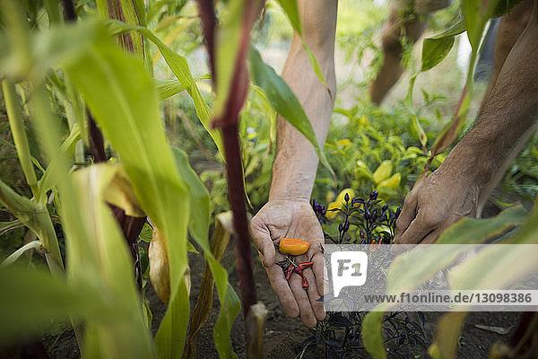 Abgehackte Hände eines Mannes beim Pflücken von Chilischoten im Gemeinschaftsgarten Abgehackte Hände eines Mannes beim Pflücken von Chilischoten im Gemeinschaftsgarten