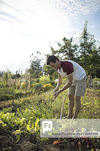 Seitenansicht eines Mannes bei der Karottenernte im Gemeinschaftsgarten gegen den Himmel Seitenansicht eines Mannes bei der Karottenernte im Gemeinschaftsgarten gegen den Himmel