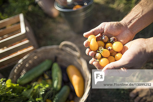 Cropped hands of man holding yellow cherry tomatoes at community garden