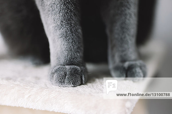 Low section of Chartreux cat sitting on rug at home