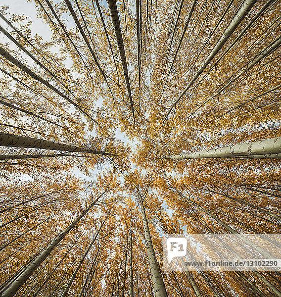 Niedrigwinkelansicht von Bäumen im Wald im Herbst
