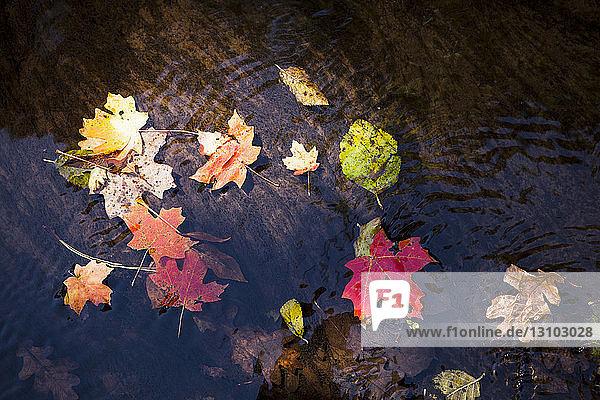 Hochwinkelansicht von Ahornblättern in einem Teich im Wald