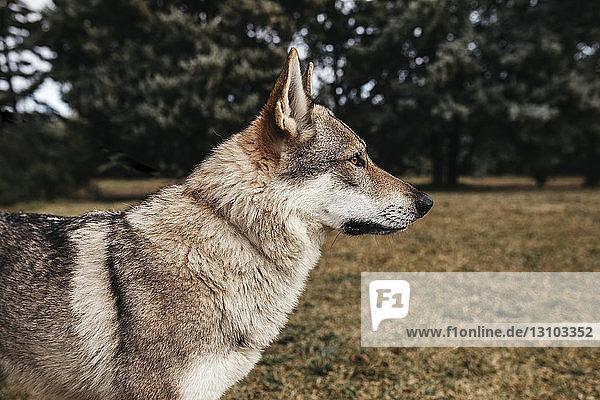 Seitenansicht eines auf dem Feld stehenden Wolfes Seitenansicht eines auf dem Feld stehenden Wolfes
