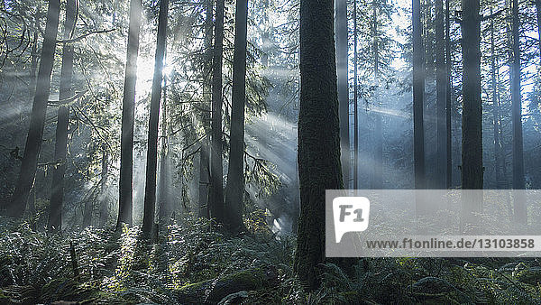 Tranquil sunbeams illuminated forest trees Tranquil sunbeams illuminated forest trees