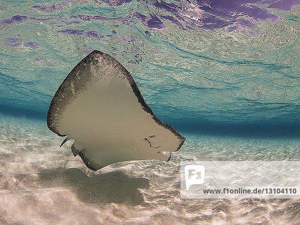 Stingray swimming underwater  Stingray City  Grand Cayman  Cayman Islands Stingray swimming underwater, Stingray City, Grand Cayman, Cayman Islands