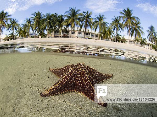 Starfish in shallow water on Starfish Beach  Grand Cayman  Cayman Islands Starfish in shallow water on Starfish Beach, Grand Cayman, Cayman Islands