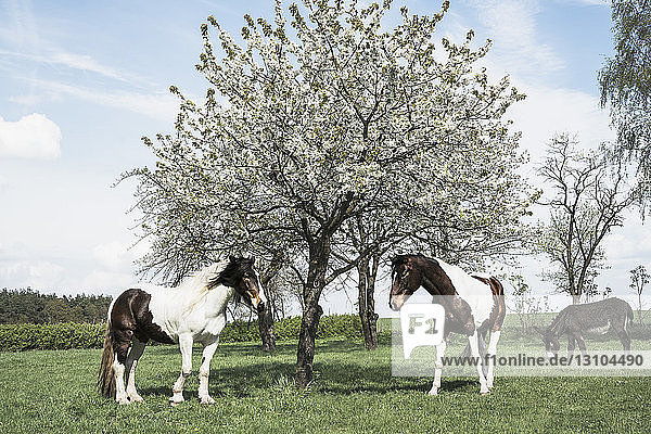 Brown and white horses under sunny spring apple blossom tree